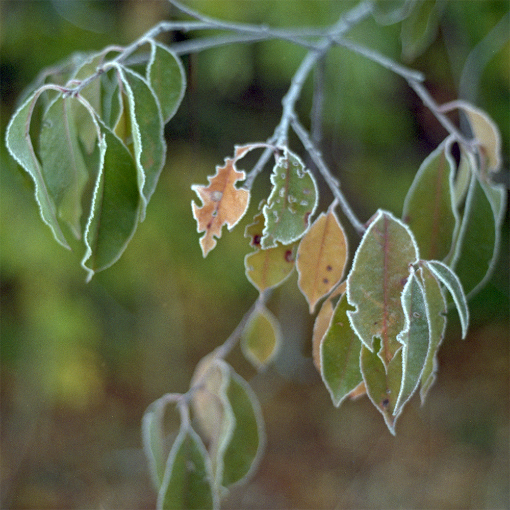 F73N18a_Frozen leaves_bearb